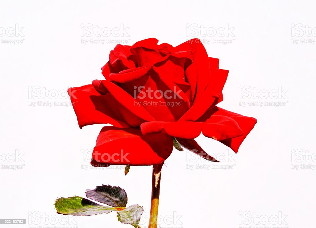individual flawless red rose for cropping stock photo