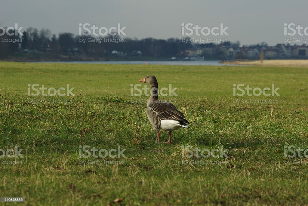 Individual goose alone on a meadow, Anser anser stock photo