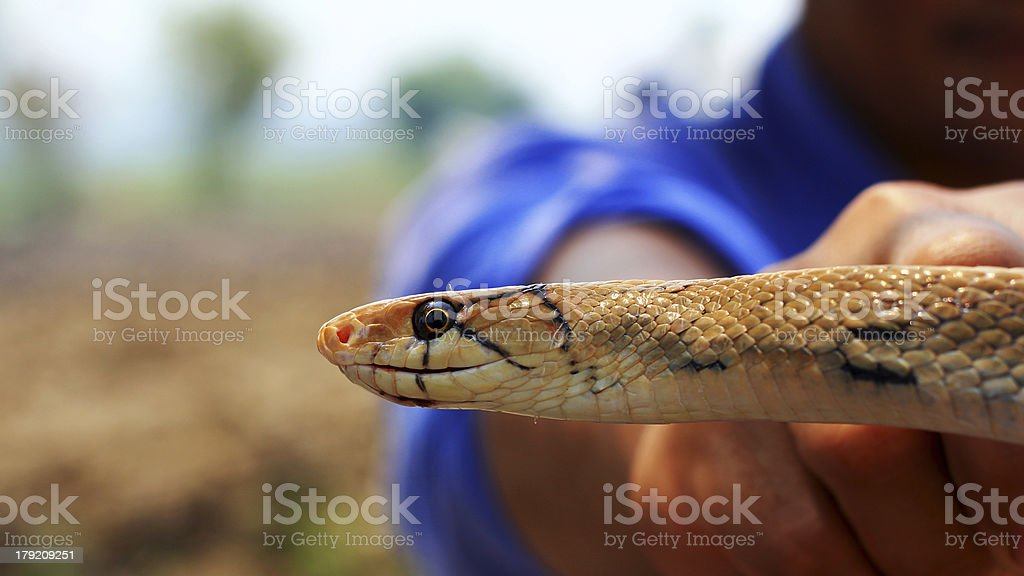 Indochinese rat snake royalty-free stock photo