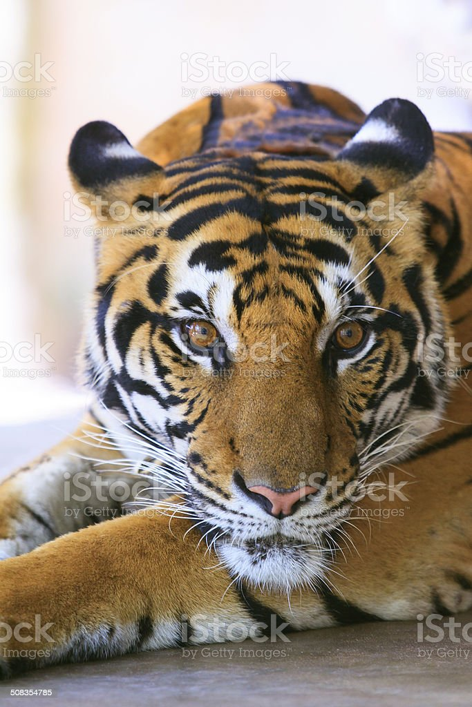 indochinese tiger face stock photo