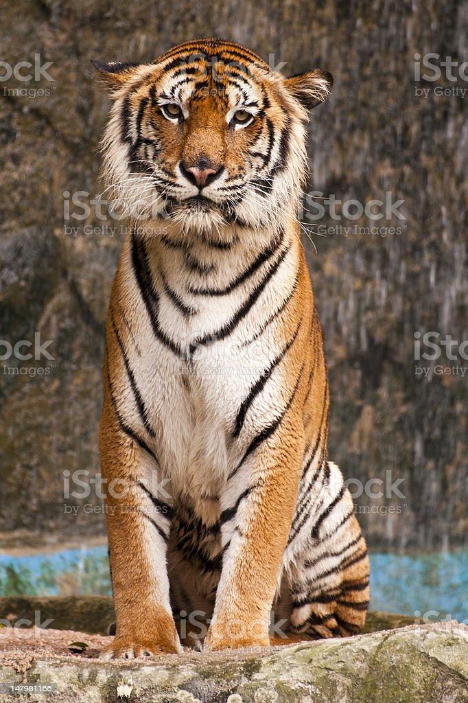 Tygrys indochiński zbiór zdjęć royalty-free