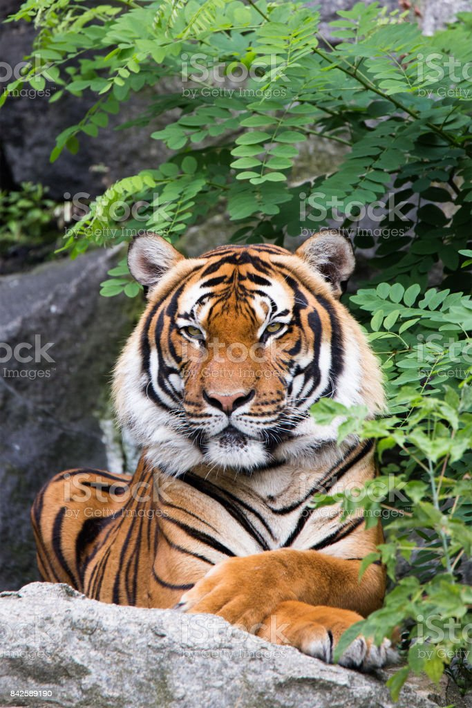 Indochinese tiger stock photo