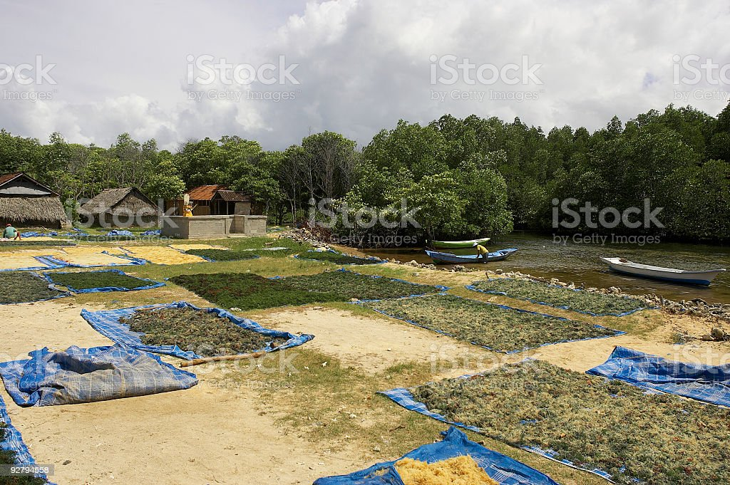 Indonesia Bali Drying Sea Weed royalty-free stock photo