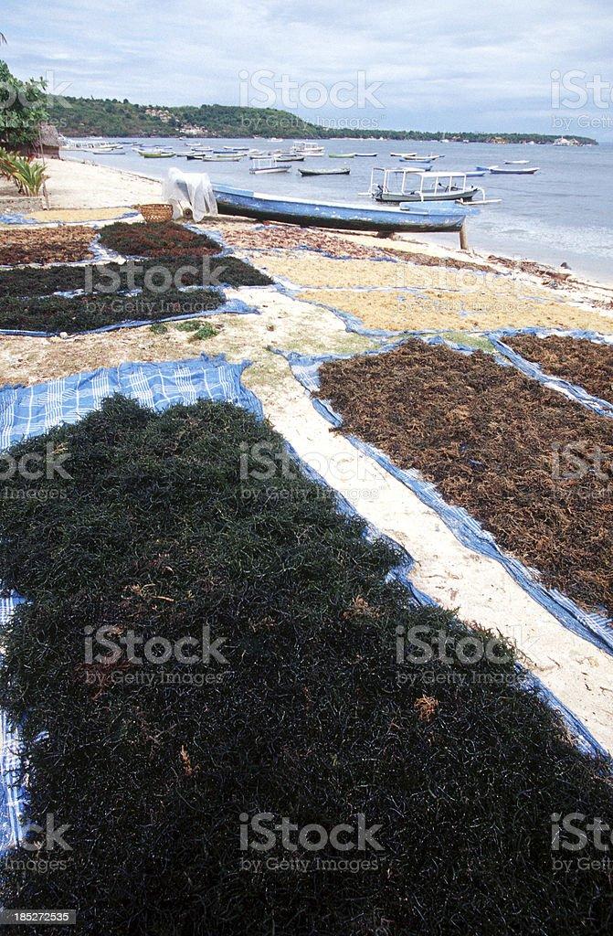 Indonesia, Bali, Nusa Lembongan, drying seaweed. royalty-free stock photo
