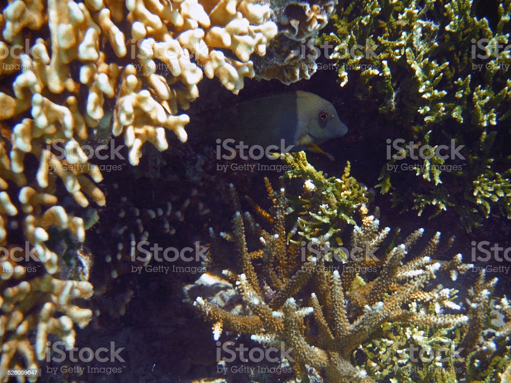 Indonesia: Black Coral Fish stock photo