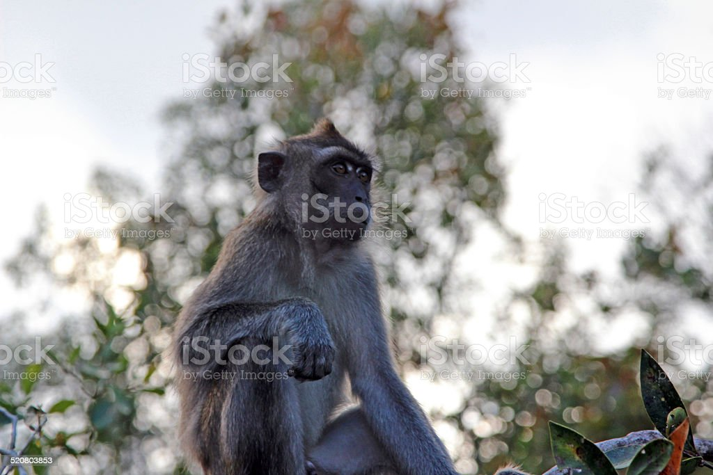 Indonesia: Long-Tailed Macaque at Tanjung Puting in Borneo stock photo