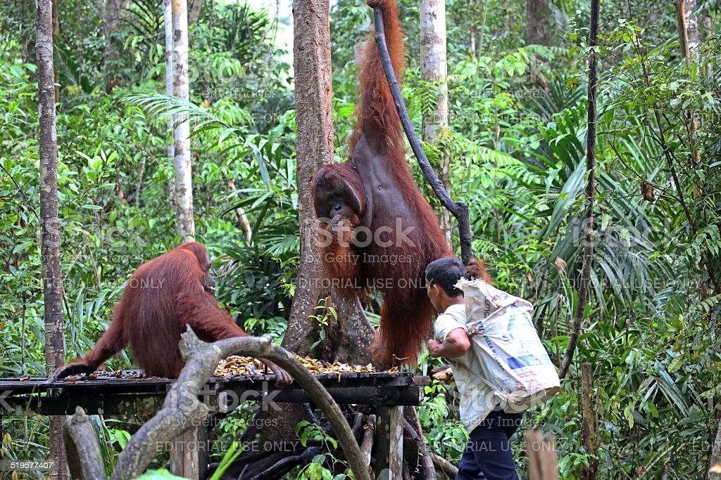 Indonesia: Orangutans in Tanjung Puting National Park stock photo