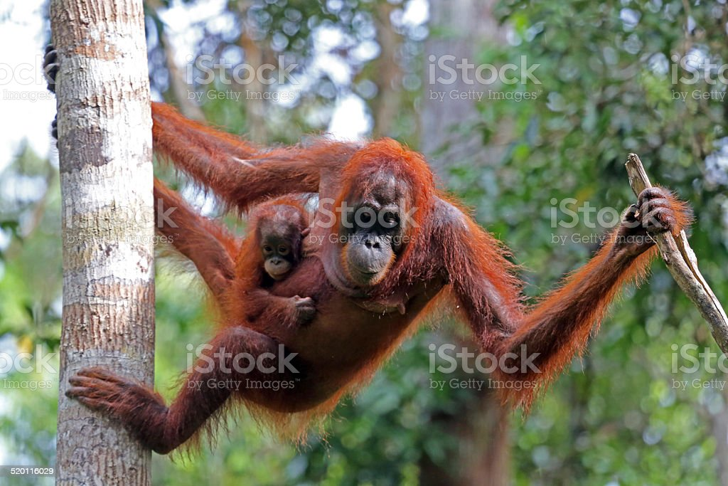 Indonesia: Orangutans in Tanjung Puting National Park stock photo