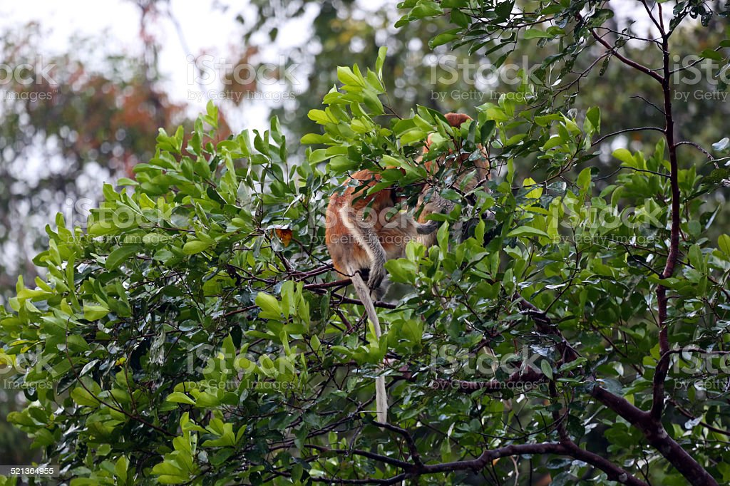 Indonesia: Proboscis Monkeys in Tanjung Puting stock photo