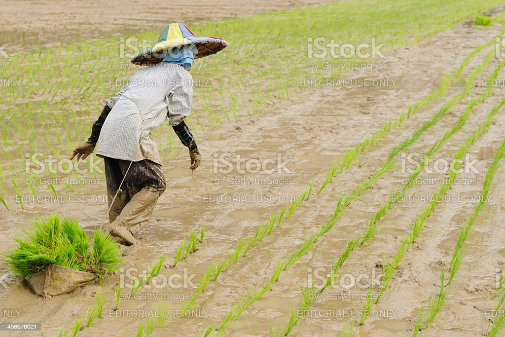 Indonesia, Rice-workers stock photo
