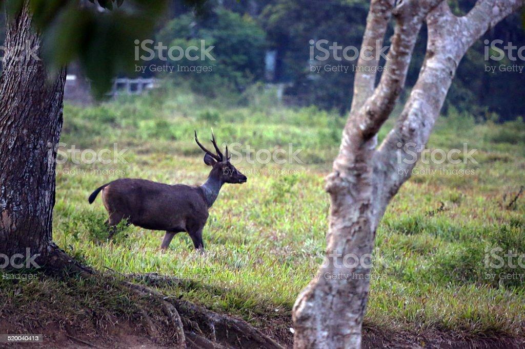 Indonesia: Sambar Deer at Way Kambas National Park stock photo