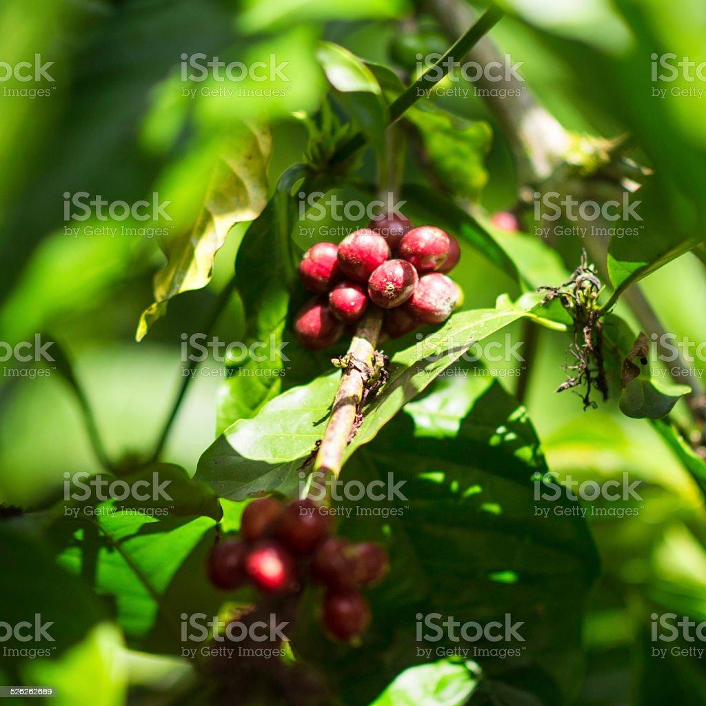 Indonesian Arabica Coffee stock photo