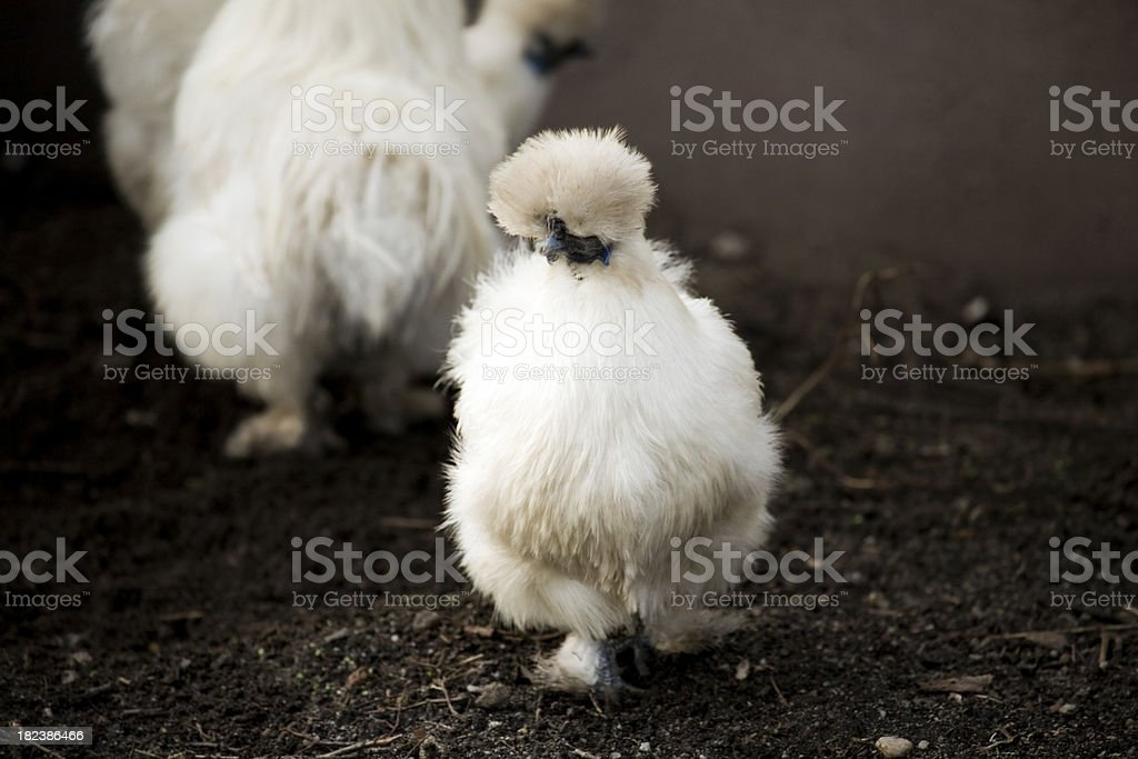 Indonesian Silk Rooster royalty-free stock photo