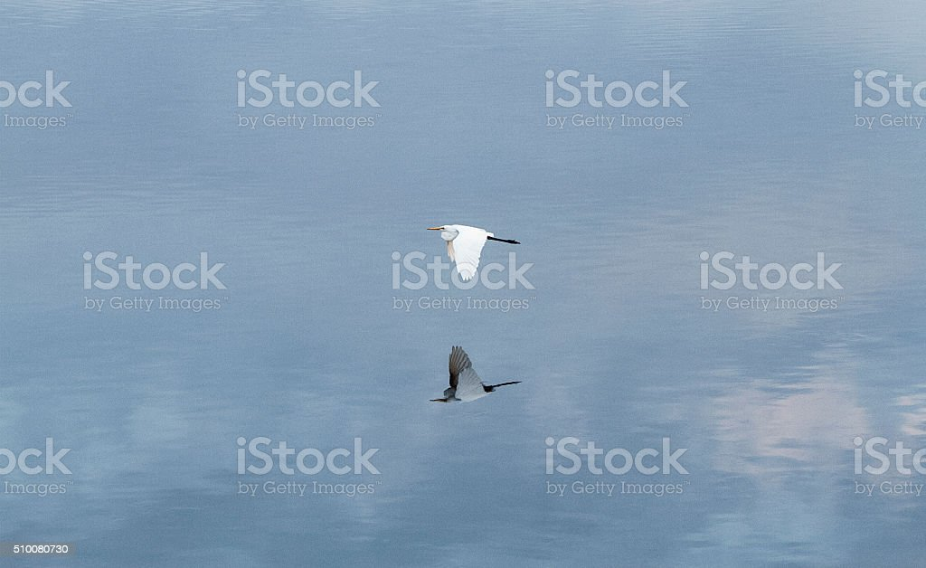 Indonesian white heron flight stock photo