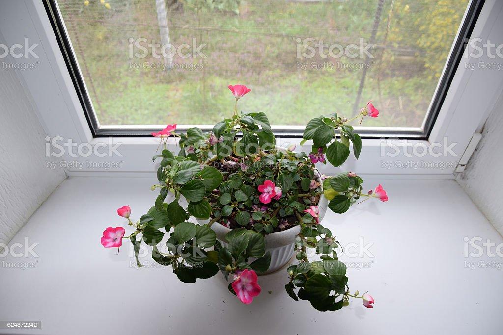 Indoor flower in a pot on the windowsill. stock photo