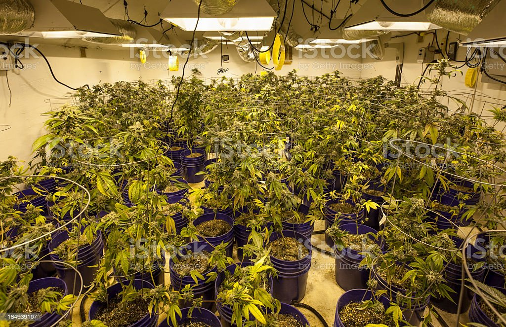 Indoor growing potted Marijuana royalty-free stock photo