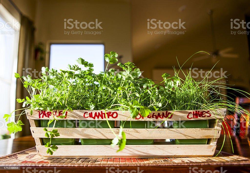 Indoor Herb Garden: 1 month of growing royalty-free stock photo