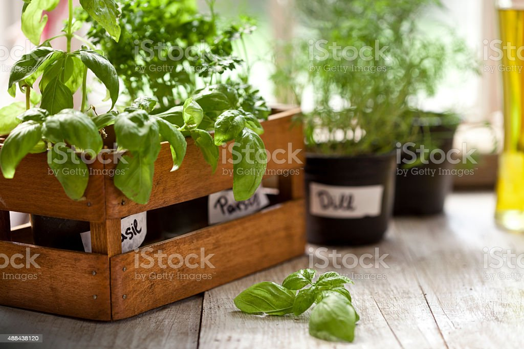 Indoor Herb Garden, Potted Container Plant by Window Sill stock photo