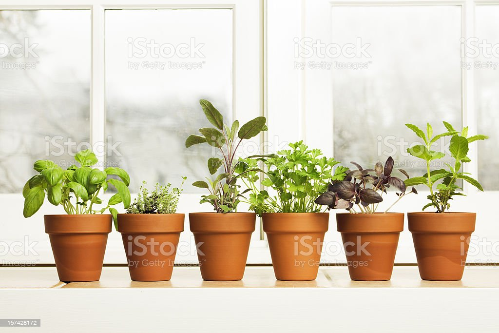 Indoor Herb Plant Garden in Flower Pots by Window Sill royalty-free stock photo