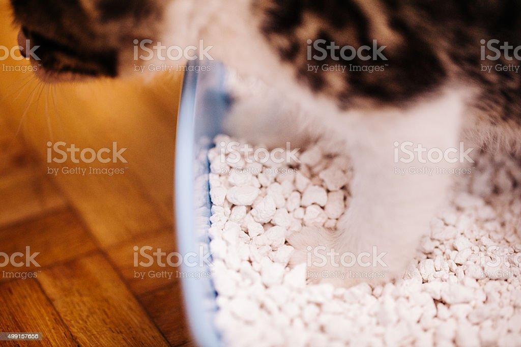 Indoor house cat standing in it's cat litter tray stock photo