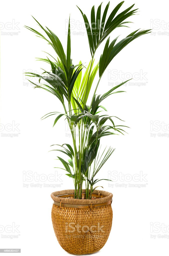 Indoor palm in a wicker pot against a white background stock photo