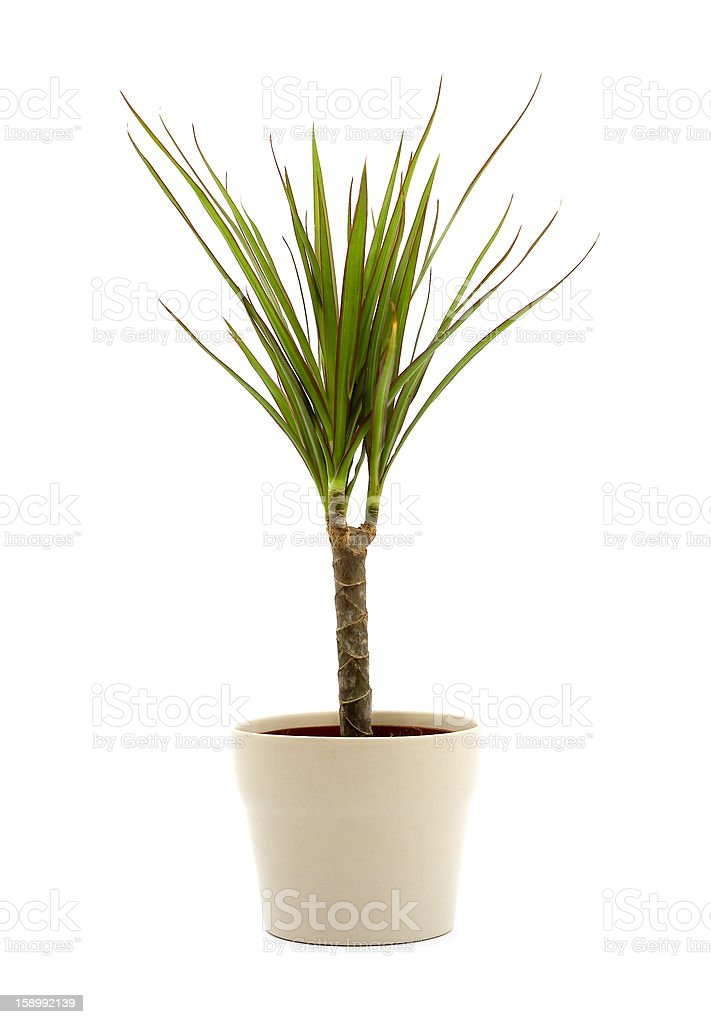 Indoor plant growing in a white pot royalty-free stock photo