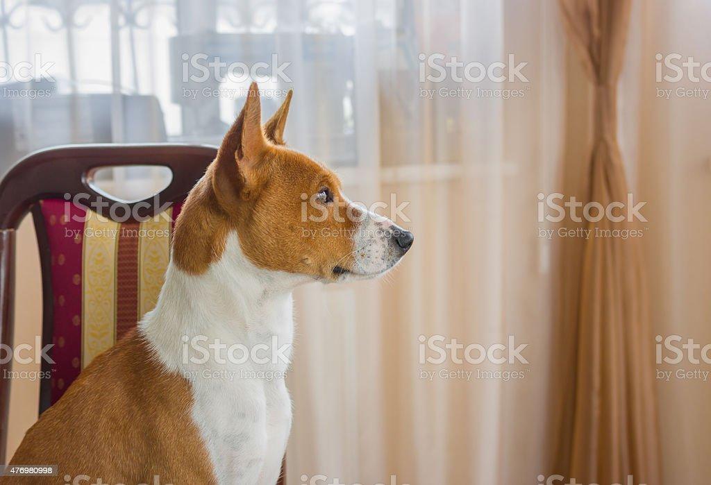 Indoor portrait of basenji dog stock photo