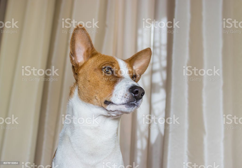 Indoor portrait of self-confident basenji dog stock photo