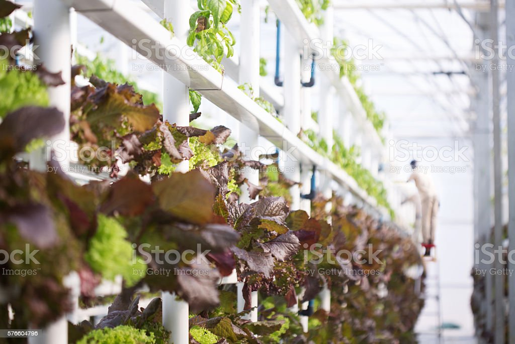 Indoor Vertical Hydroponic Lettuce Farm stock photo