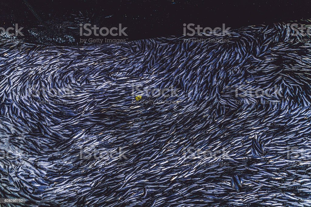 Industrial fishing in action: herrings in the net stock photo