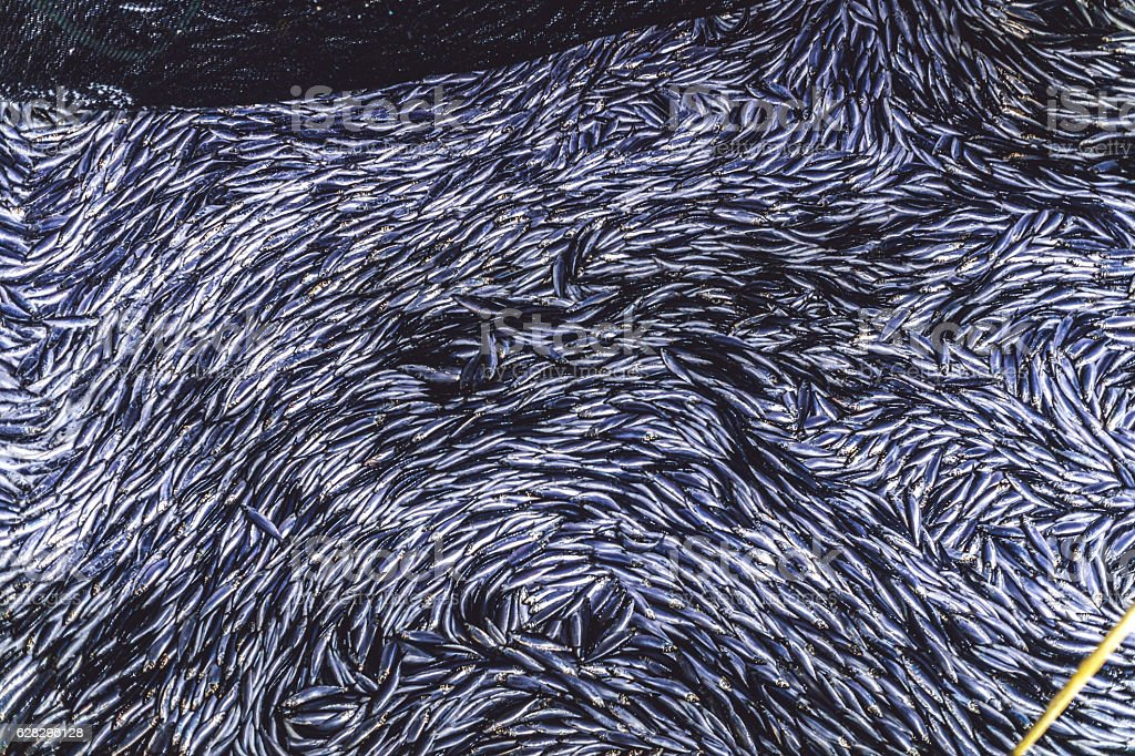 Industrial fishing in action: herrings in the net stock photo