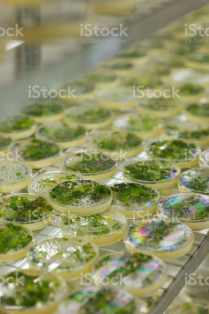 industrial food: sprouts from in-vitro cultivation in petri dishes royalty-free stock photo