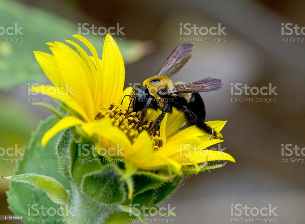 Industrious Bee At Work on a Sunflower royalty-free stock photo
