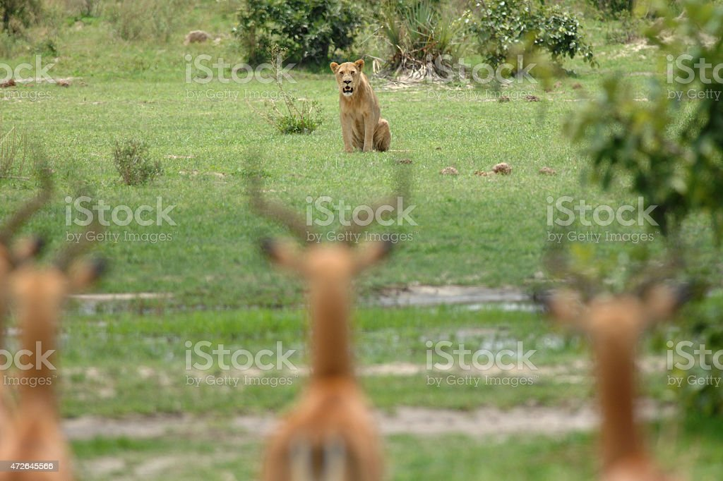 Inexperienced young lone male lion attempting to hunt stock photo