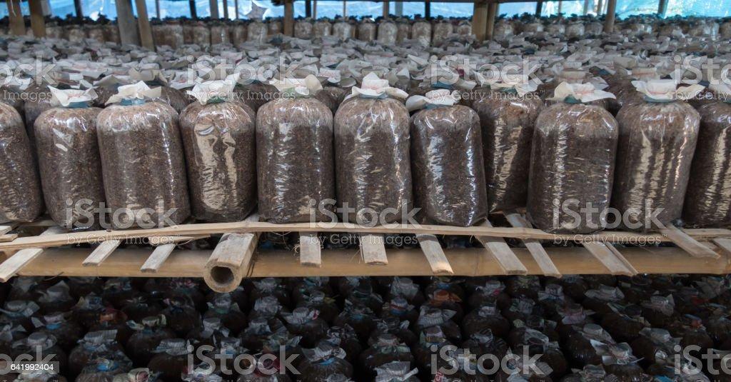 Infected oyster mushroom loaf bag stock photo