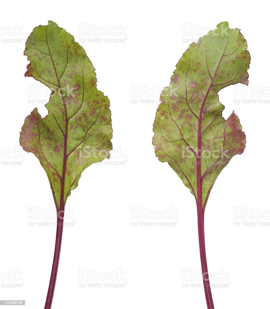 Infection of beetroot leaf by Cercospora beticola royalty-free stock photo