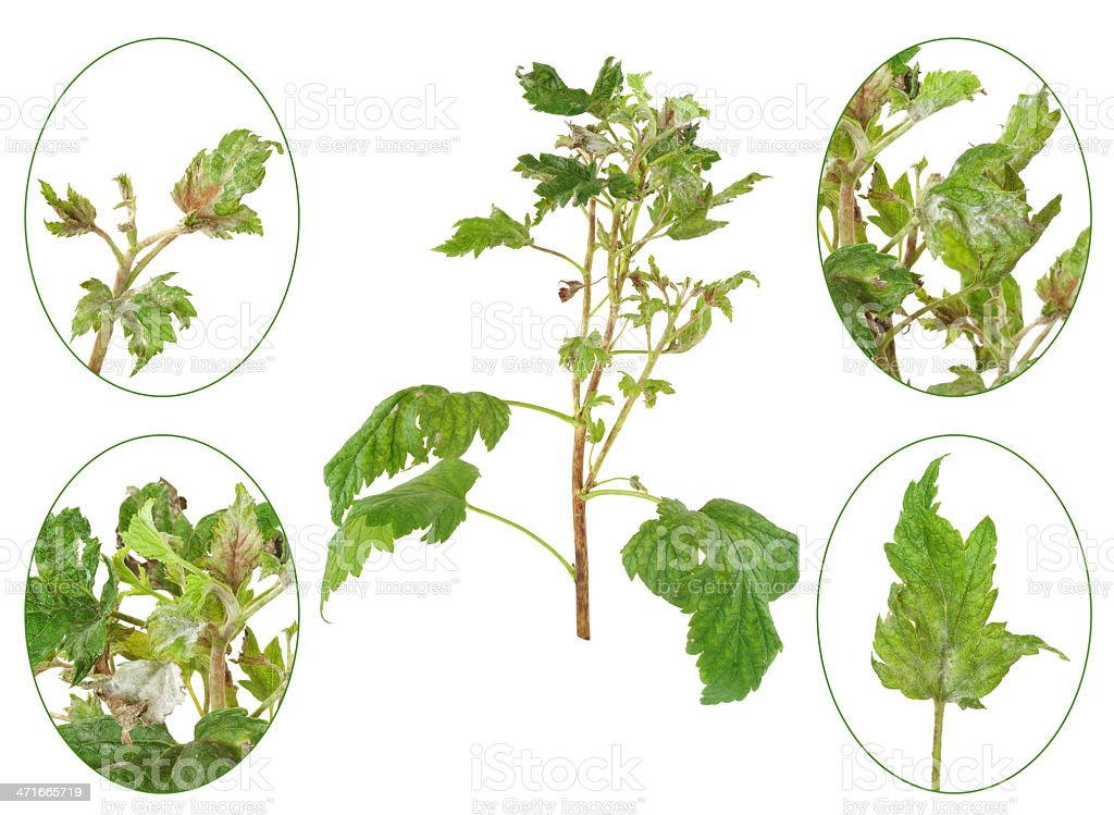 Infection of black currant by grey mould, Botrytis cinerea stock photo