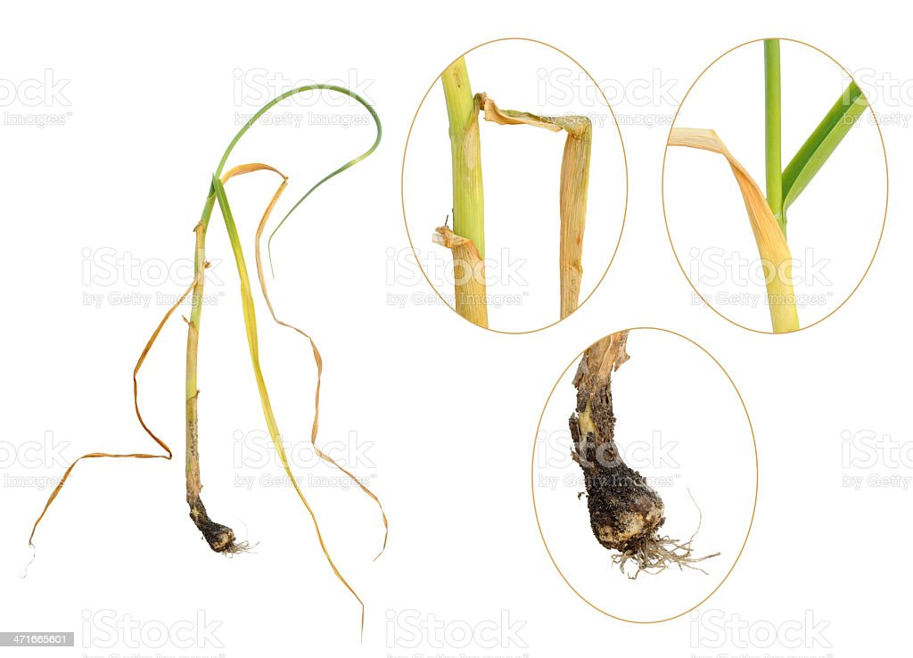 Infection of garlic by white rot, Sclerotium cepivorum royalty-free stock photo