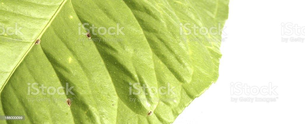 infested lemon leaf stock photo