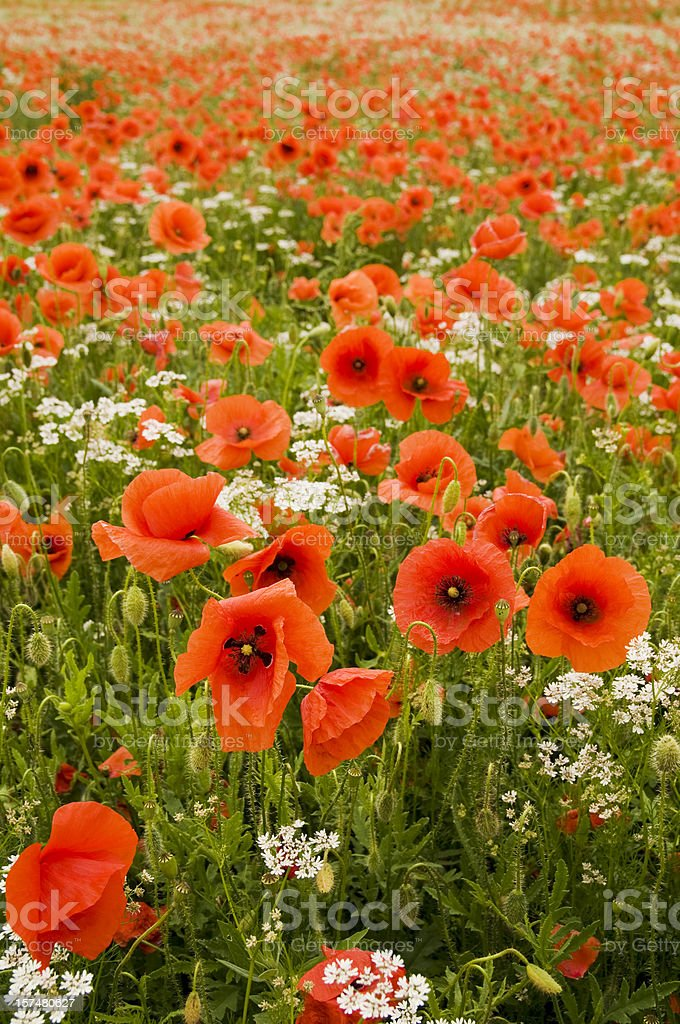 Infinite red poppy field royalty-free stock photo