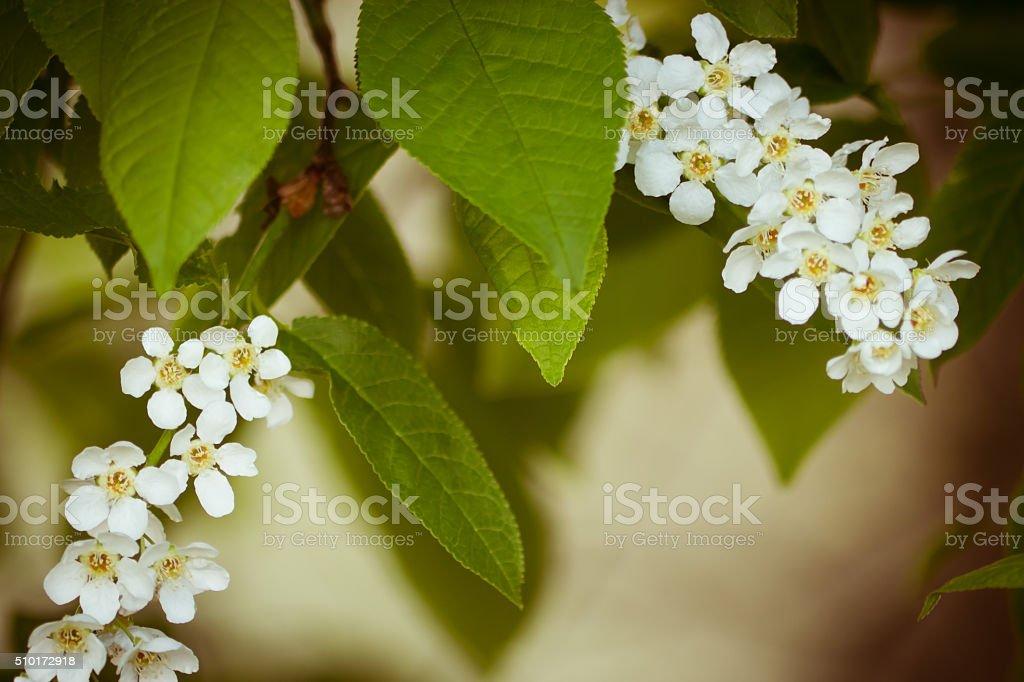 Inflorescence bird cherry stock photo