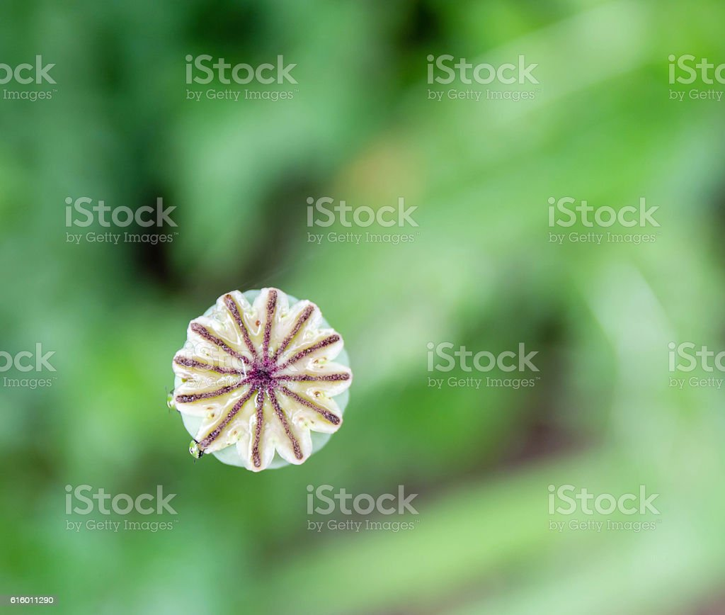 inflorescence dry poppy on a green blurry background of foliage stock photo