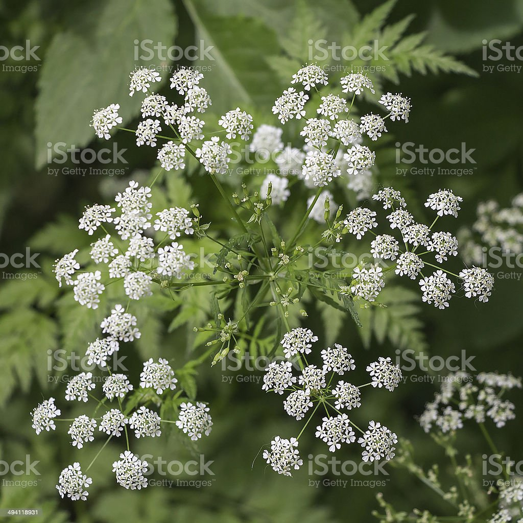 Inflorescence of a herb of Hemlock or Poison Hemlock stock photo