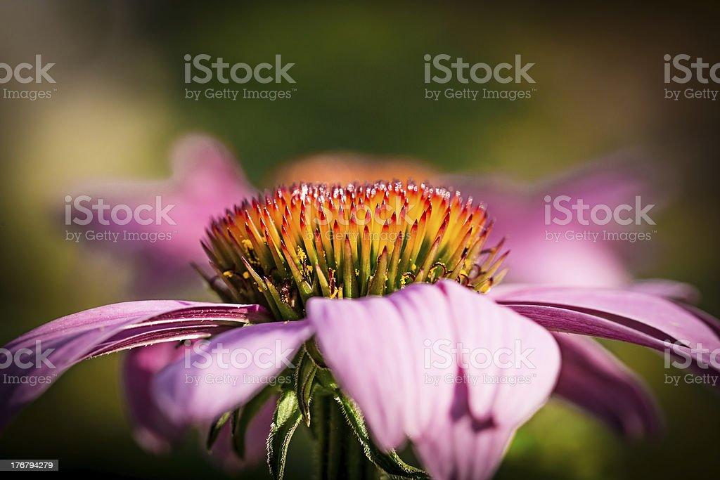 Inflorescence of Echinacea royalty-free stock photo
