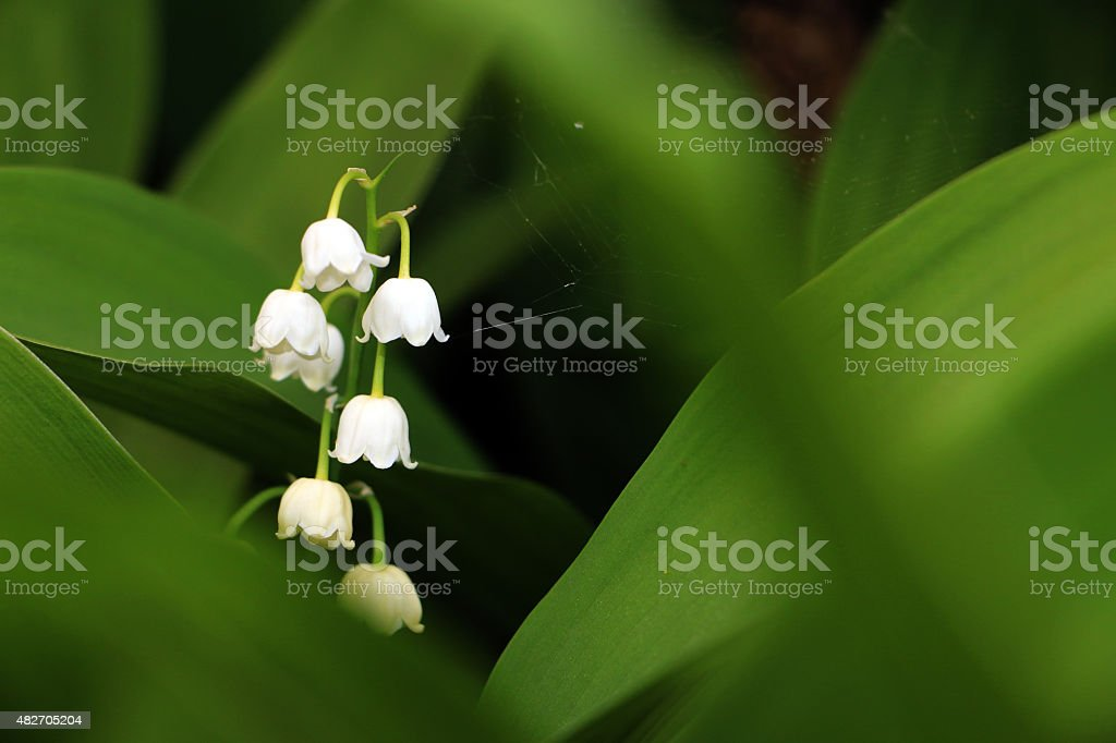 Inflorescence of European lily-of-the-valley, botanical name Convallaria majalis stock photo