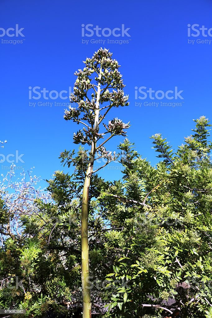Inflorescence of giant agave agavis auaaua in Namibia, Africa stock photo