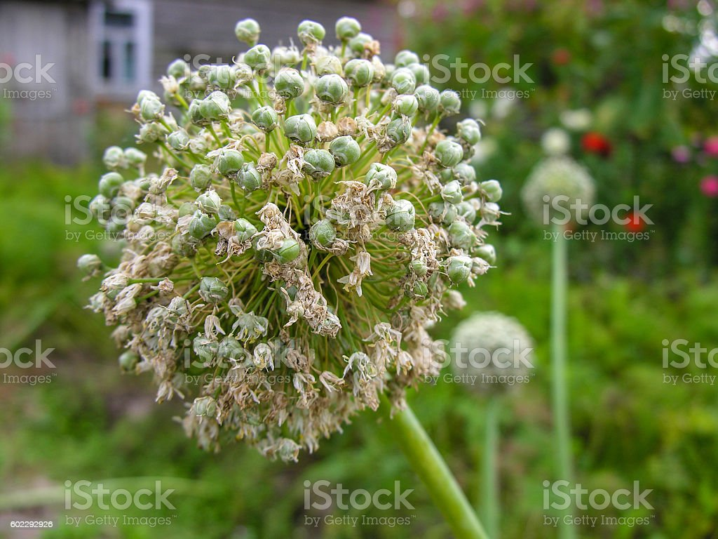Inflorescence of onion stock photo