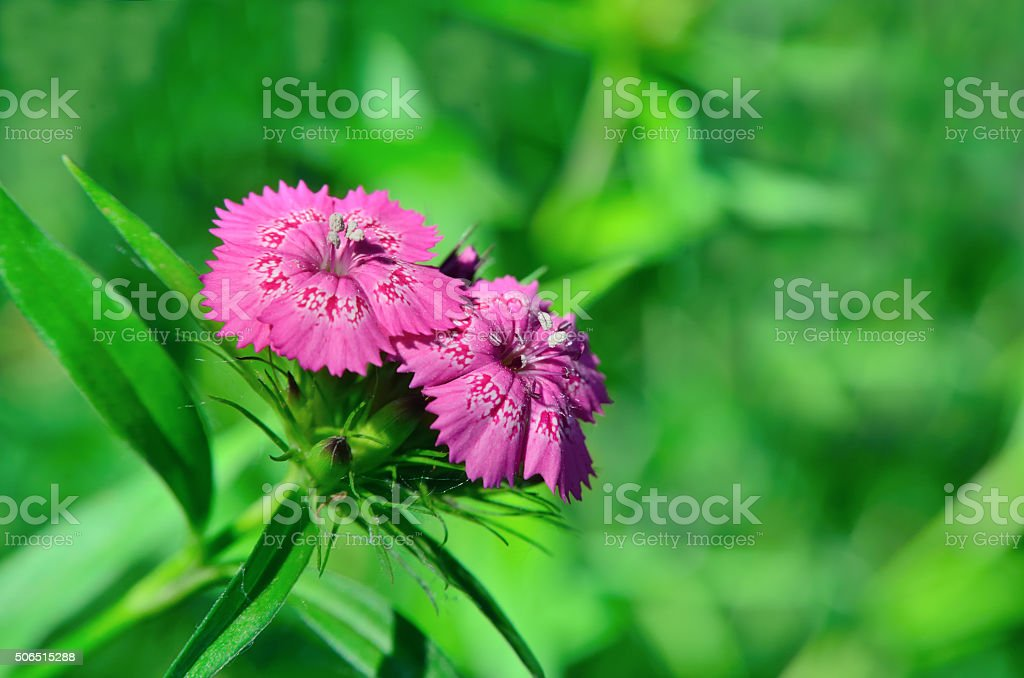 Inflorescence of small carnations growing in the garden stock photo
