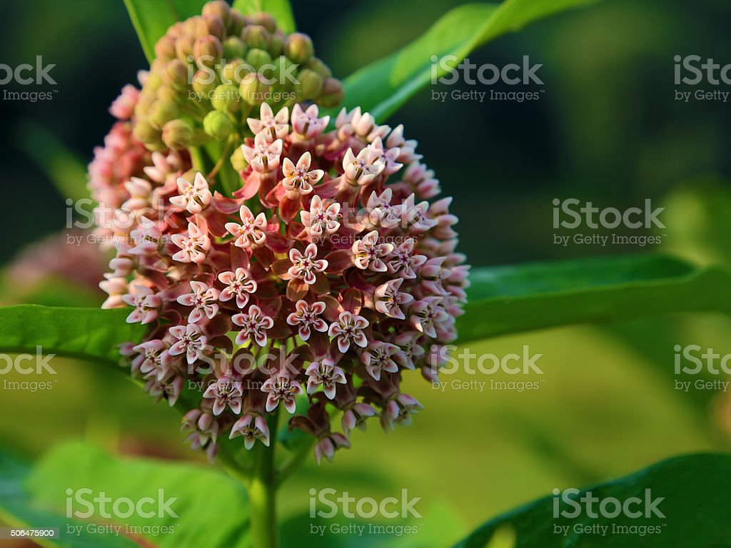 Inflorescence of wild Onion stock photo