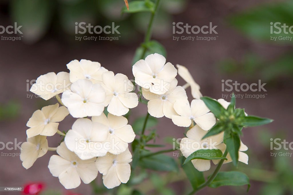 inflorescence phlox stock photo